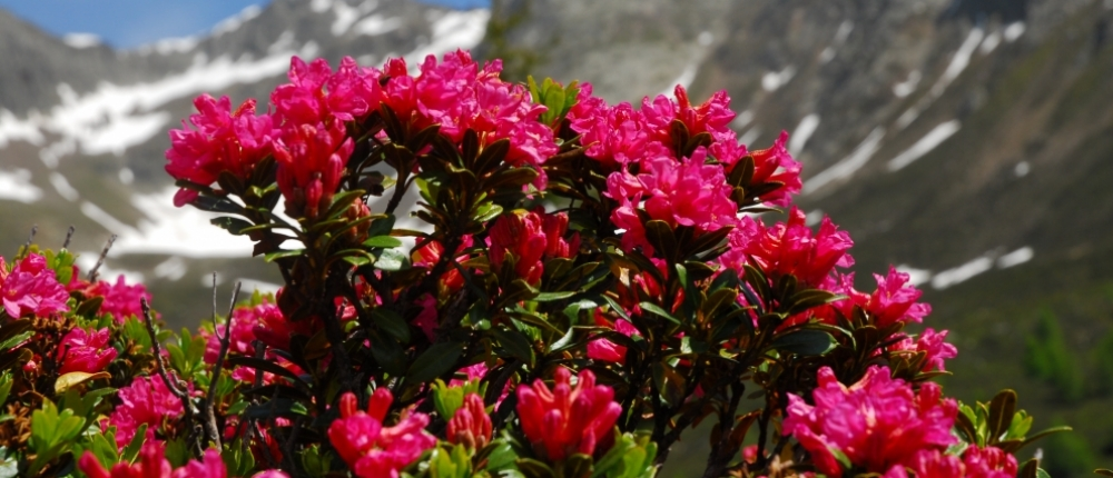 Genzian-Alpine roses weeks  including  MeranCard